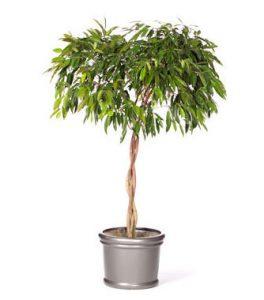 Ficus Amstel King foto