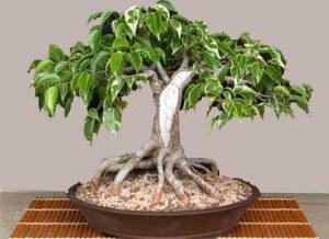ficus-benjamina-bonsai-photo