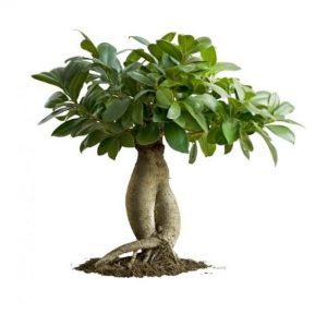 Roots of Ficus Ginseng