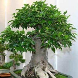 ficus-ginseng-microcarpa-bonzai