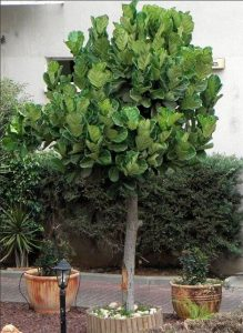 Ficus Lyrata photo